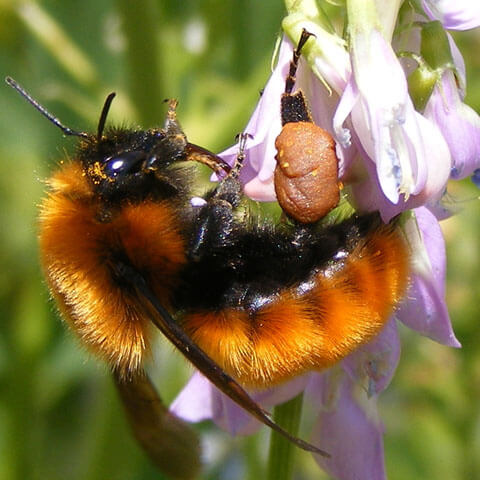 Donate bee