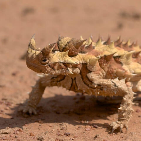 Donate thorny devil